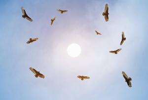 Turkey-Vultures