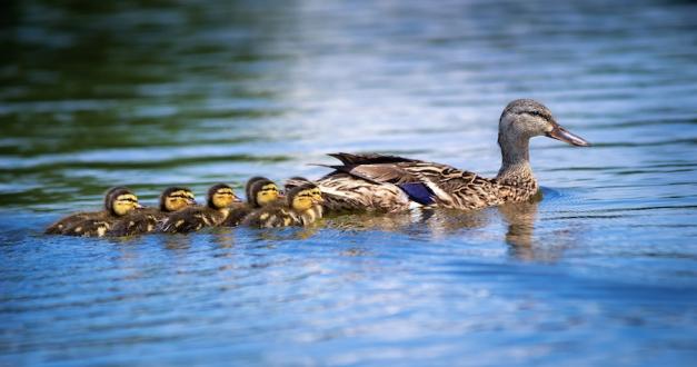Female Mallard Duck (anas Platyrhynchos) And Ducklings